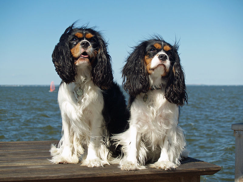 King_Charles_Spaniels_on_Great_South_Bay_Long_Island